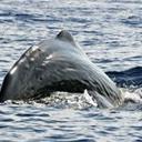Whales Pierre Jaquet